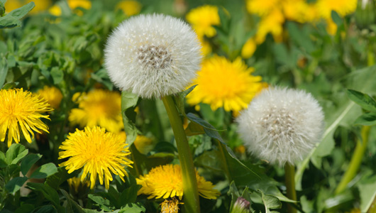 Dandelion & Breast Health
