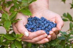 Blueberries Can Prevent Breast Cancer
