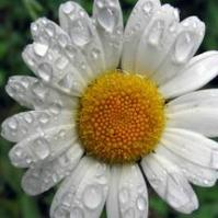 HerbalTeas For Breast Cancer Chamomile