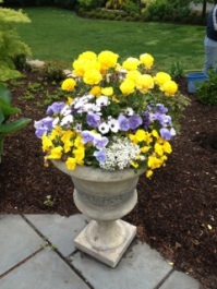 Blue and lavender violas and pansies, white osteospermums,  alyssum, yellow ranunculus.