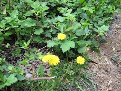 Dandelion - Helps Clear Toxins