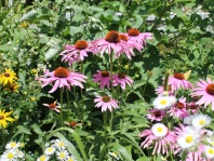 Echinacea and Goldenseal - Reduce Excessive Mucous