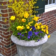 Cut forsythia branches, yellow ranunculus, purple pansies, purple and yellow violas.