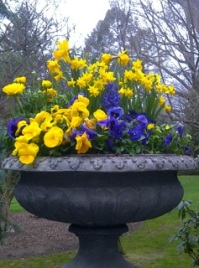 Yellow and purple pansies and violas, Yellow ranunculus, yellow narcissus tete a tete