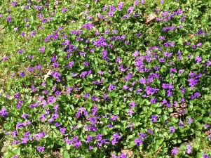 Breast Cancer Herbs Viola odorata Sweet Violet - Flowers