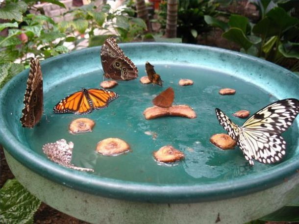 Butterfly Water Dish For Breast Cancer Gardening