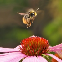 Attract Bees in Your Breast Cancer Garden