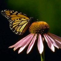 Echinacea To Attract Butterfies Breast Cancer Healing Garden