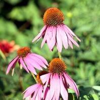 Purple Clone Flower For Breast Cancer Garden