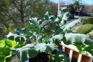 Broccoli For A Breast Cancer Garden