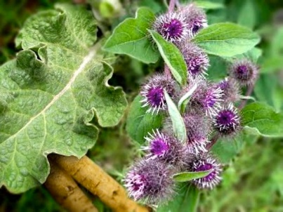 Burdock Plant For Breast Cancer Healing