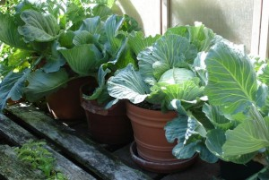 Cabbage for a Breast Cancer Healing Garden