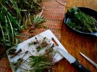 Harvesting Dandelion Roots For Cancer Healing