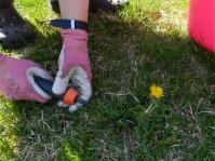 Harvesting Dandelions For Breast Cancer Healing