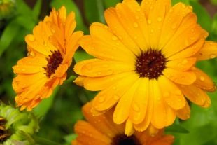 Calendula As A Complementary Therapy For Breast Cancer