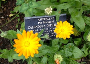 Calendula For Breast Cancer