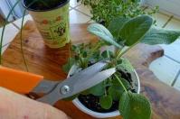 Harvesting Sage For Breast Cancer Gardening