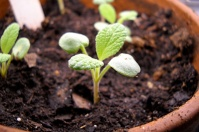 Sage Sprouting Indoor Garden For Breast Cancer