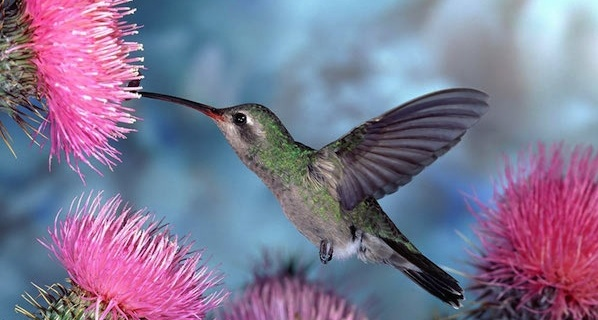 A hummingbird for Jean's Mom
