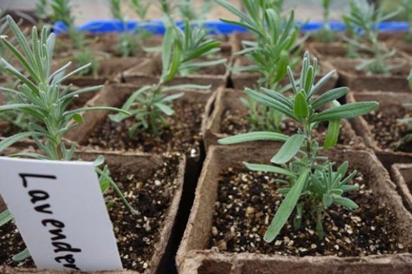 How to grow an indoor lavender potpourri garden for breast for Indoor gardening diana yakeley
