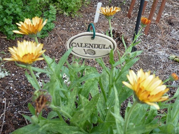 Calendula for breast cancer healing garden