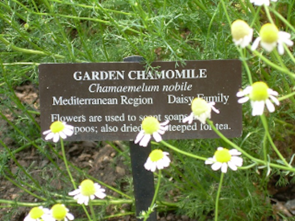 Chamomile for breast cancer healing garden