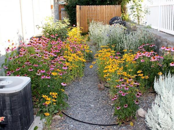 Echinacea for breast cancer healing garden