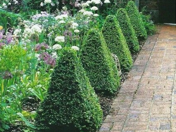 Cone Shaped Bushes For Healing Garden Fire Element
