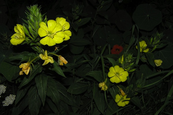 Evening Primrose Flower For  Breast Cancer Healing Moon Garden