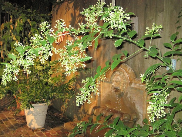 Night Blooming Jasmine For Breast Cancer Healing Garden