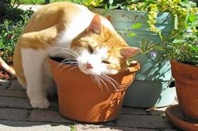 Catnip garden ideas for healing