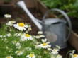 Chamomile Tea For Breast Cancer Healing Garden