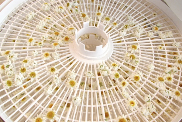 Learn How To Harvest & Dry Chamomile For Tea