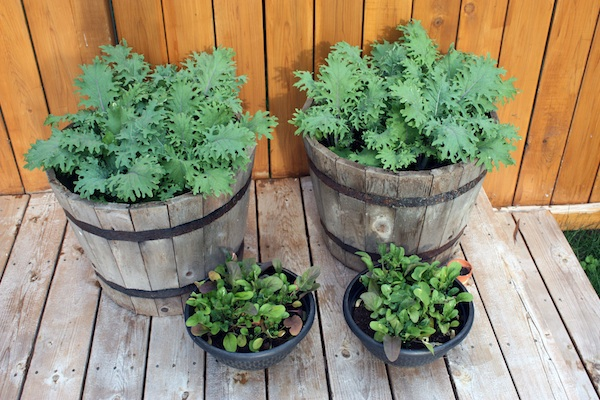 Arugula Fall Container Garden for Breast Cancer