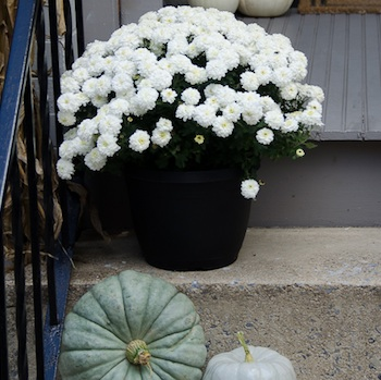 Mums For A Fall Front Porch