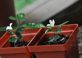 Jasmine Growing Tips For Breast Cancer Garden Therapy